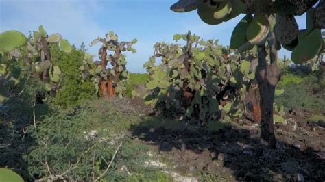 Walking in an Opuntia Cactus Forest - Galapagos Islands