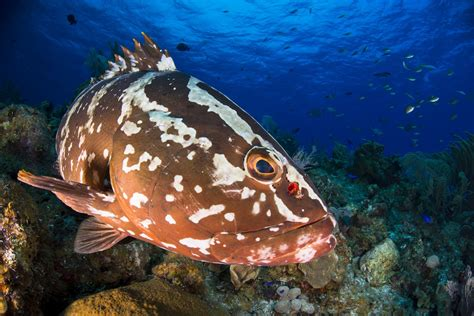 FAU | 'Eavesdropping' on Groupers' Mating Calls Key to